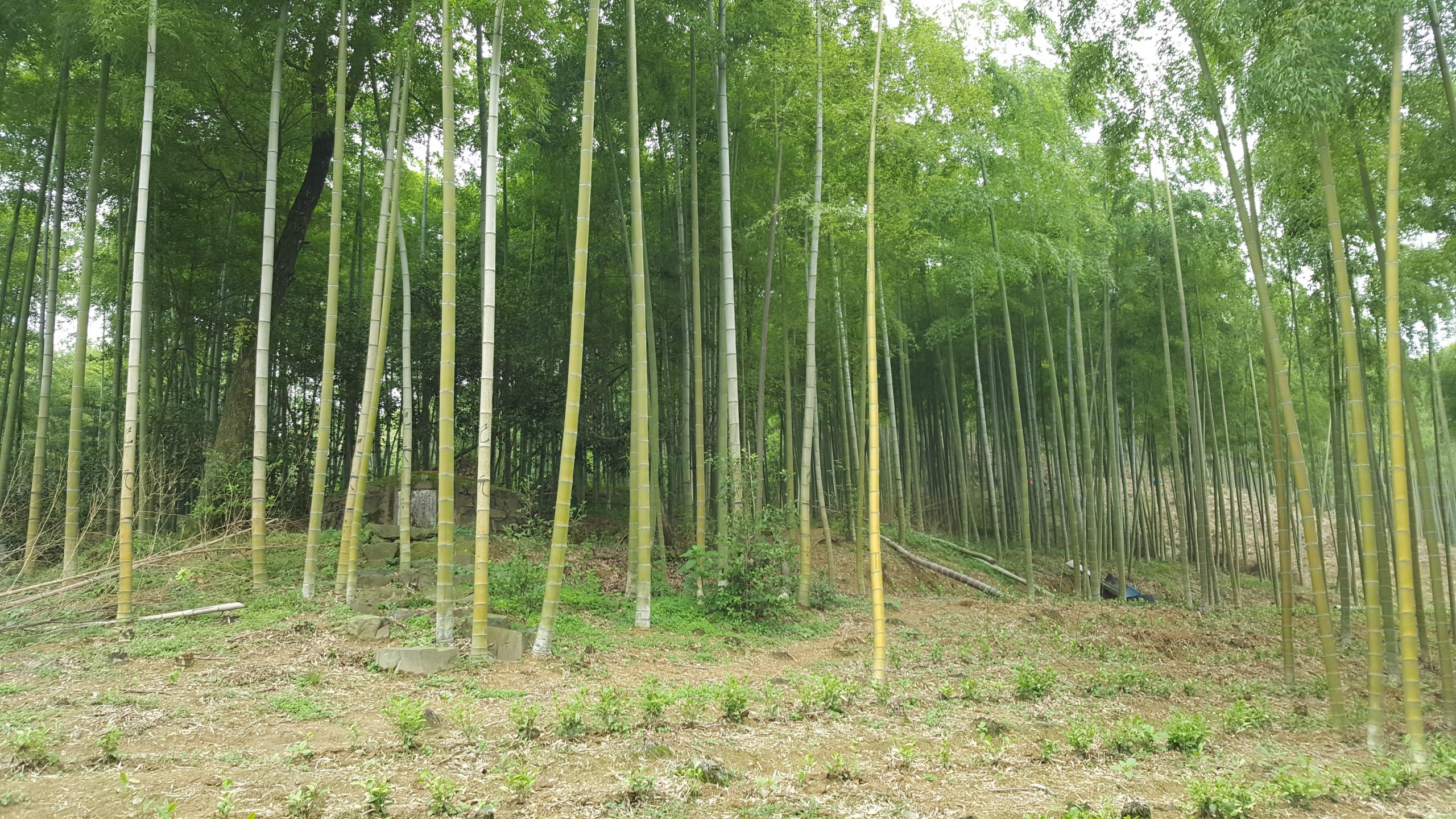UK Bamboo supplies - The benefits of growing Bamboo